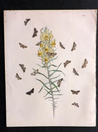Humphreys & Westwood British Moths 1845 Hand Col Print 69